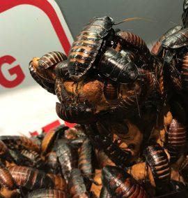 Cockroaches pest control in miami 1