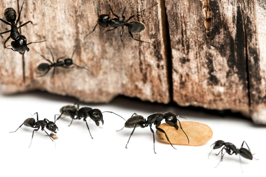 Ants go through metamorphosis, the eggs flap into larvae and are protected by workers. Understand the Ant life cycle for better Ant Pest Control