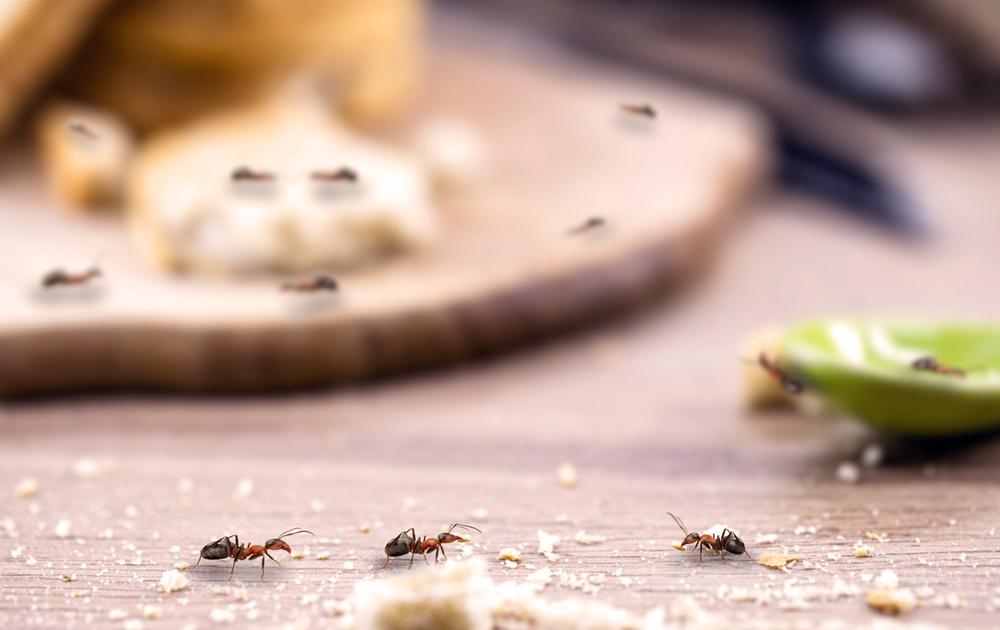Ant Pest Miami